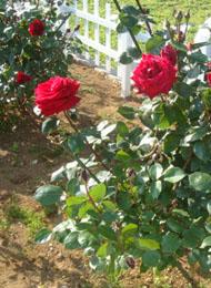 DSC01402_rose.jpg