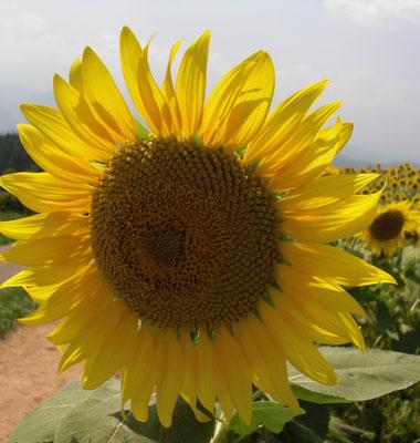 SUN FLOWER.jpg